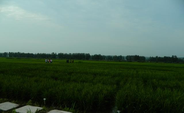 SCC越光大米:米饭大米的最高峰